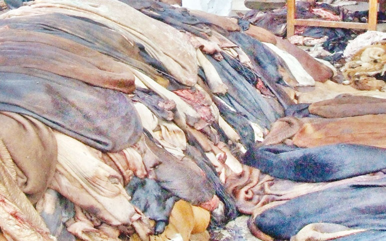 পুঁজি সংকটে চামড়া কিনতে পারছেন না আঞ্চলিক ব্যবসায়ীরা
