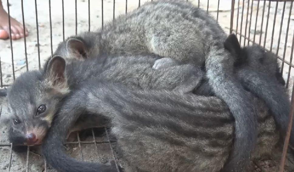 বিরল প্রজাতির ৪টি গন্ধগকুল উদ্ধার